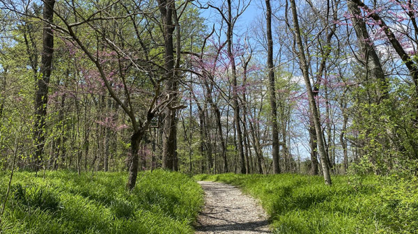 Trail at Lincoln State Park going uphill with bright green grass on either side and redbud trees blooming for spring